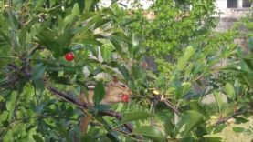 Who steals my cherries…