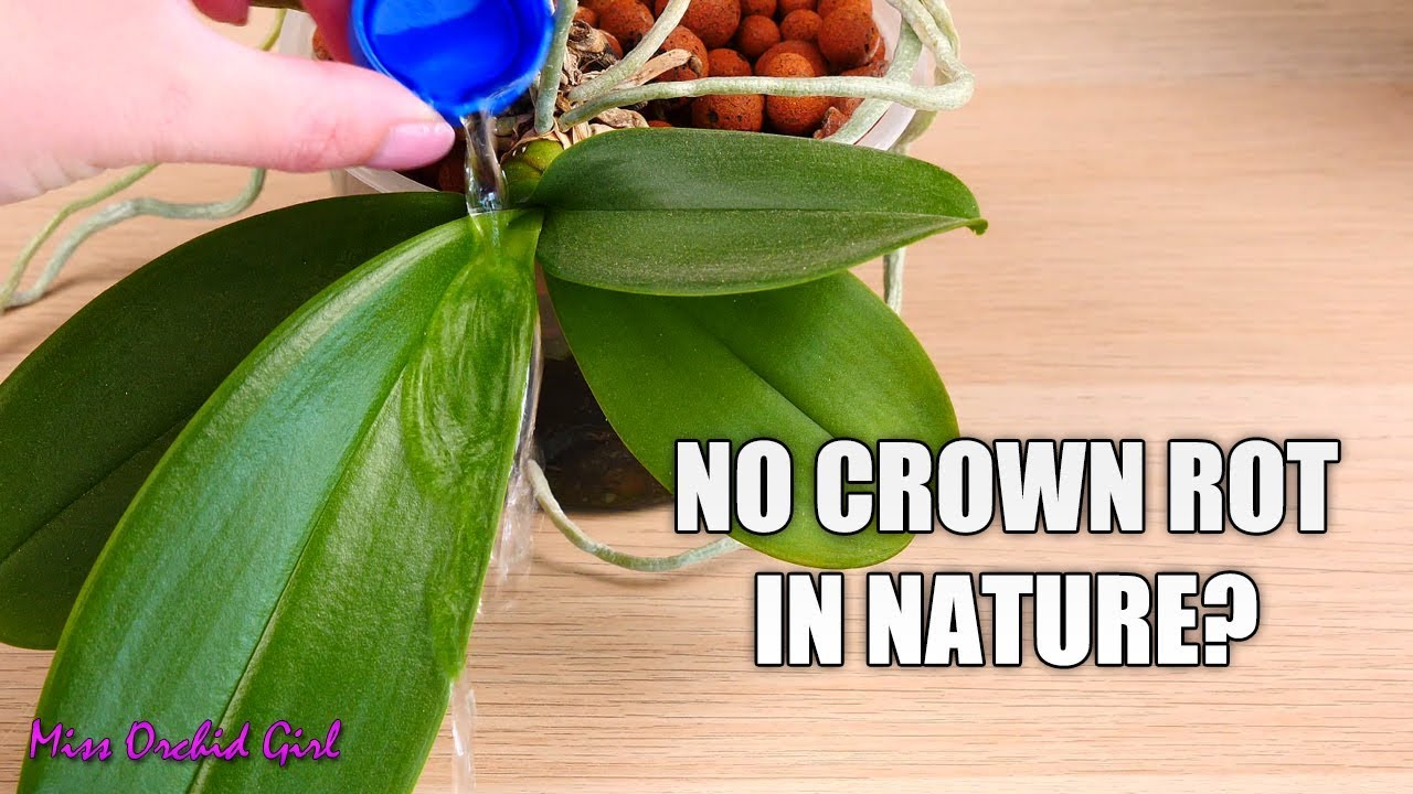 Why Don T Phalaenopsis Orchids Get Crown Rot In Nature