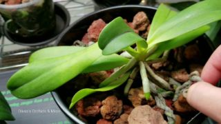Wintertime: Orchids in Self Watering Containers