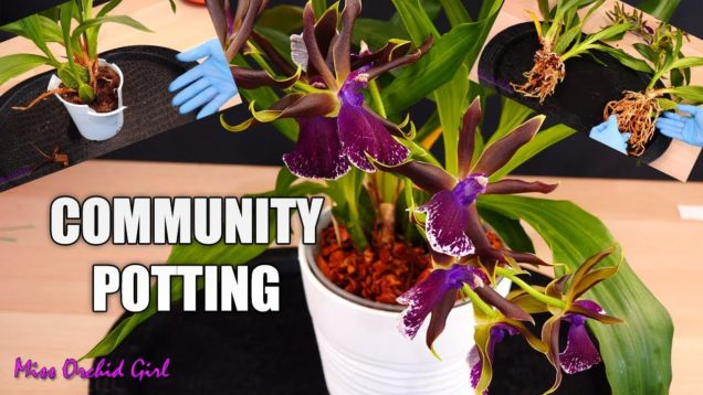 Zygopetallum Orchids community potting!